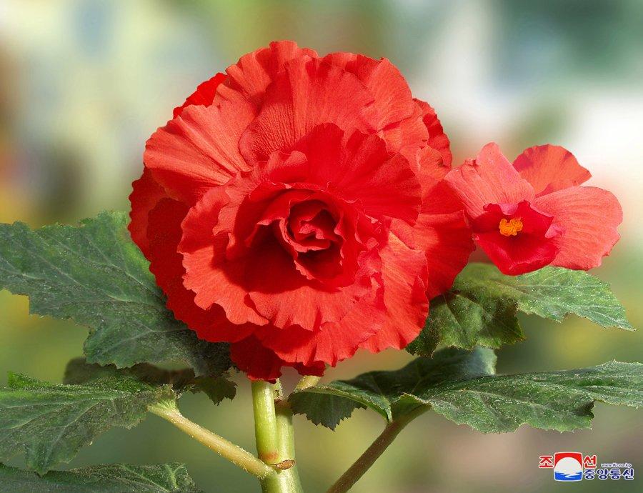 """L'une des fleurs nommée """"kimjongilia"""""""