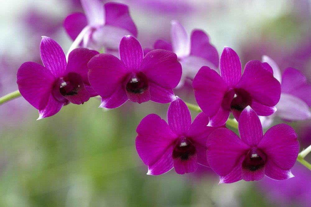 """Les fleurs dénommées """"kimilsungia"""""""